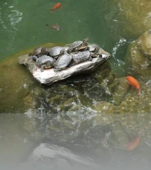 Декоративные карпы и черепахи там везде